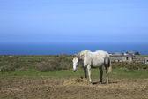 Horse Cornish Coast — Stock Photo