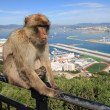 Barbary Ape of Gibraltar — Stock Photo #62651837
