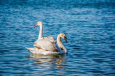 Swans and seagulls on the sea — Stock Photo