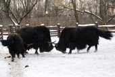Yaks are fighting — Foto de Stock