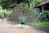 Peacock in Kuala Lumpur Bird Park — Stock Photo