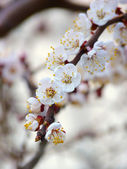 Flowering branch of apricot on a light background — Photo