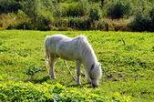 красивая белая лошадь, пасущаяся на лугу — Стоковое фото