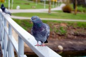 Pigeon sitting on the railing of the bridge in the park — Stock Photo