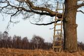 Ladders in a oak — Stock Photo