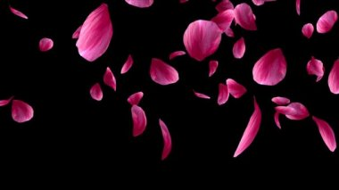 Red rose petals falling on the black background. Alpha Channel is included. — Vídeo de Stock