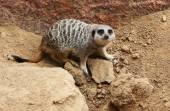 Wild meerkat on stones — Stock Photo