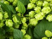 Green hops background — Stock Photo