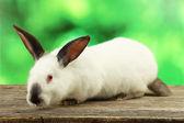 White cute  rabbit — Stock Photo