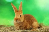 Young red rabbit in hay — Stock Photo