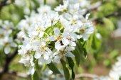 Spring flowering branch — Stock Photo