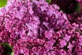 Purple lilac flowers — Stock Photo