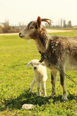 Young goatling with mother outdoors — Stock Photo