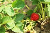 Strawberry bush in the garden, outdoors — Stock Photo