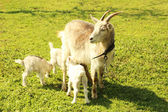 Goatling with mother on the grass — Stock Photo