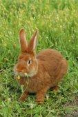 Beautiful red rabbit — Stock Photo
