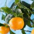 Ripe tangerines on a tree branch — Stock Photo #63287033