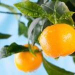 Ripe tangerines on a tree branch — Stock Photo #63287035