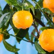 Ripe tangerines on a tree branch — Stock Photo #63287047