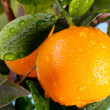 Ripe tangerines on a tree branch — Stock Photo #63287051