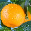 Ripe tangerines on a tree branch — Stock Photo #63287059