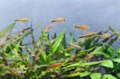 Silver Tipped Tetra fish — Stock Photo