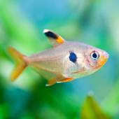 Aquarium fish Rosy Tetra — Foto de Stock
