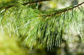 Beautiful fir branch in sunshine — Stock Photo