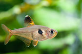 Aquarium fish. Rosy Tetra — Foto de Stock