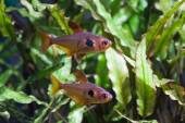 Aquarium fish  Rosy Tetra — Stock Photo