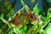 Aquarium fish  Rosy Tetra — Stock fotografie