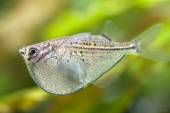 Aquarium fish  Gasteropelecus sternicla — Stock Photo