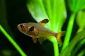 Poissons d'Aquarium Tetra rose — Photo