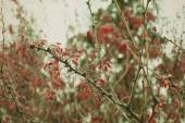 Cotoneaster branch with berries — Stock Photo