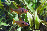 Rosy Tetra Aquarium fish — Stock Photo