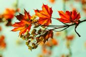 Maple branch with flowers — Stock Photo