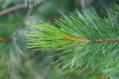 Wiecznie zielone świerk oddział — Zdjęcie stockowe