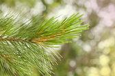Green spruce branch — Stock Photo