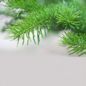 Evergreen spruce branch — Stock Photo