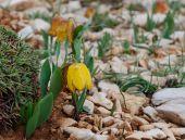 Wild tiger yellow tulip — Stock Photo
