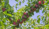 Red cherry plum in the blue sky. — Stock Photo