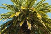 Date palms — Stock Photo