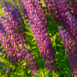 Lupinus, lupin, lupine field with pink purple and blue flowers — Stock Photo #76705641