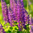 Lupinus, lupin, lupine field with pink purple and blue flowers — Stock Photo #76705879