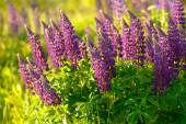 Lupinus, lupin, lupine field with pink purple and blue flowers — Stock Photo