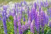 Lupinus, lupin, lupine field with pink purple and blue flowers — Fotografia Stock