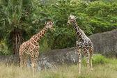 Due giraffe al savannah — Foto Stock