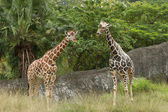 Zwei Giraffen in savannah — Stockfoto