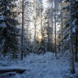 Snow covered trees in a forest at dusk — Stock Photo #62767669