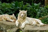 Two white tigers lying — Stock Photo